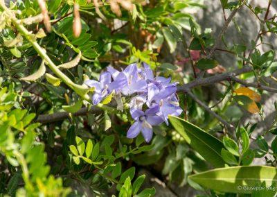 Campanula versicolor