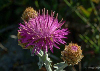 Centaurea leucadea