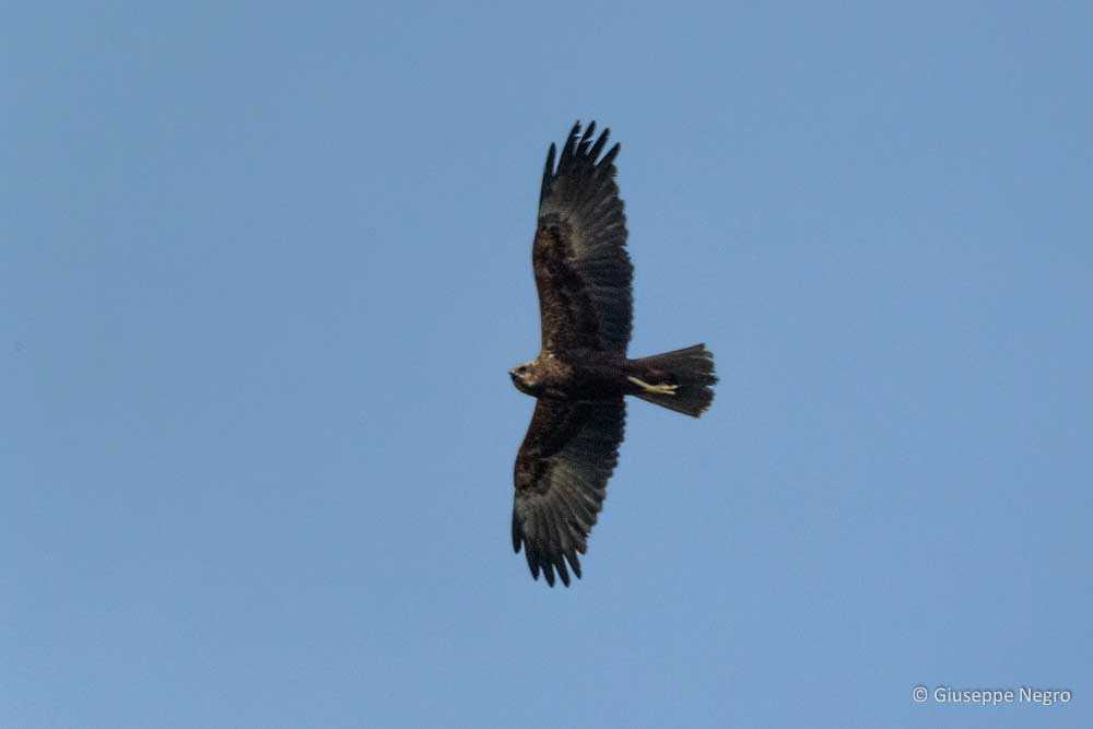 falco-di-palude