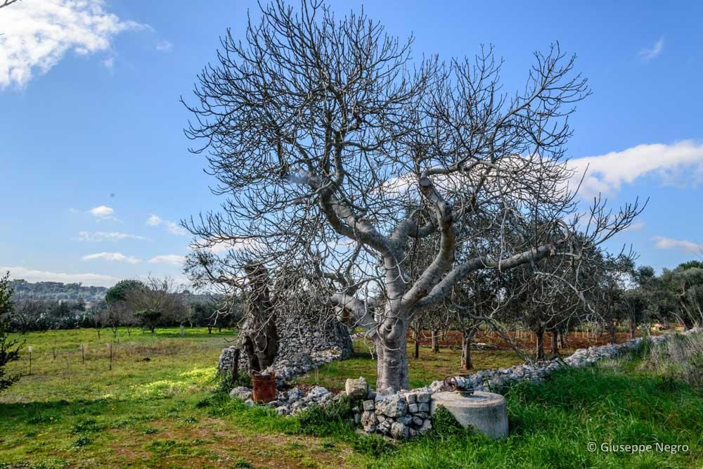 albero-di-fico