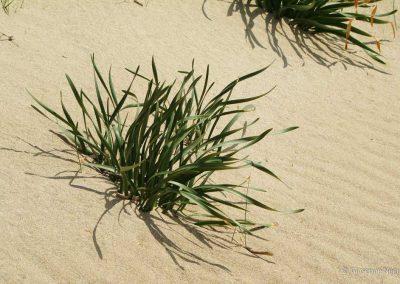 Giglio delle dune