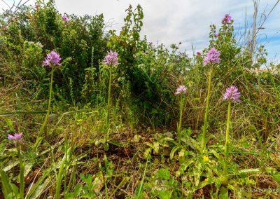 Orchidea italica