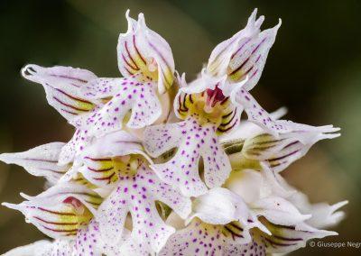 Orchidea Lattea