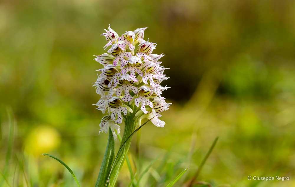 orchidea-lattea-9875_9884
