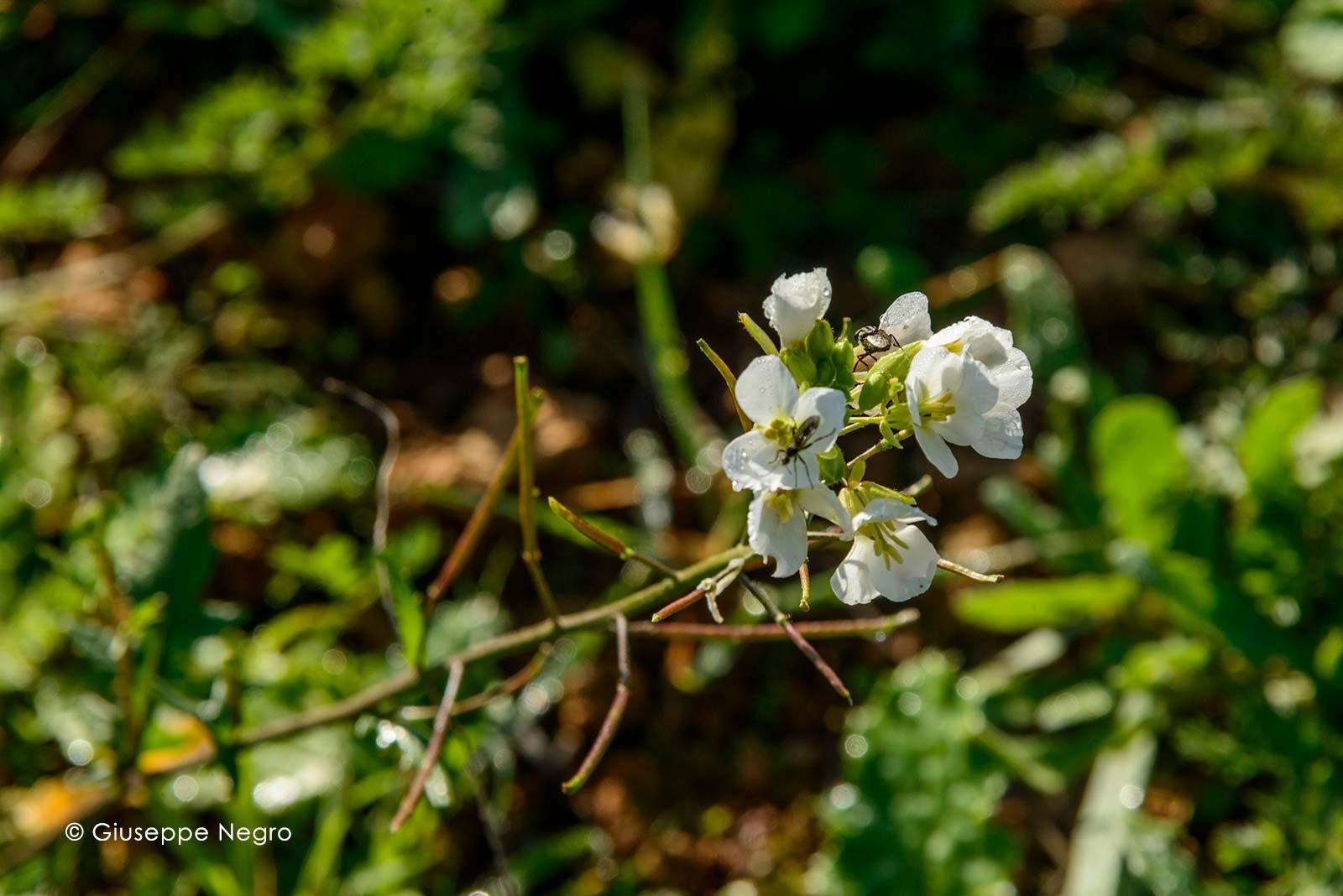 senape-bianca-0850