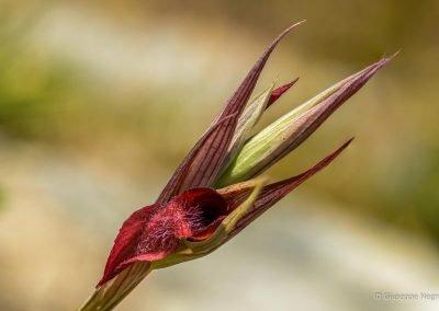 Serapide Vomeracea