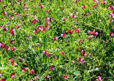 Ginestrino purpureo - Serra dei Marri